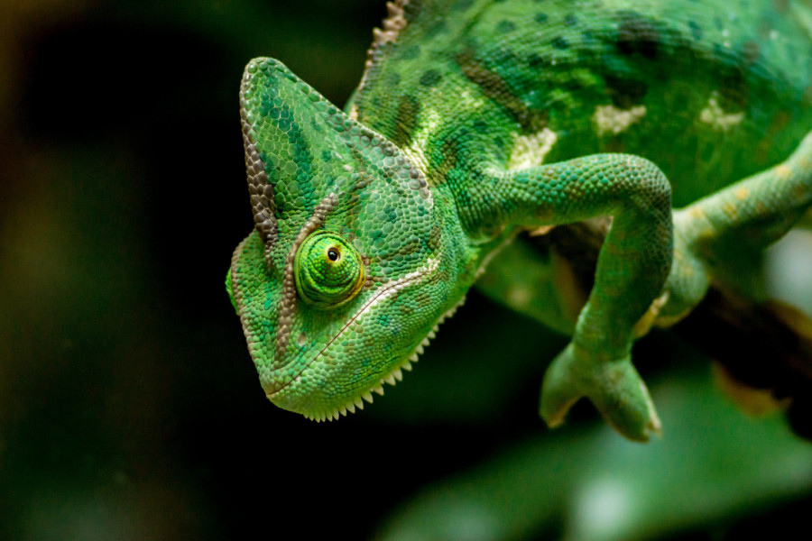Credit: https://pixabay.com/photos/chameleon-head-green-lizard-6307349/  Day 2 | Image of the day