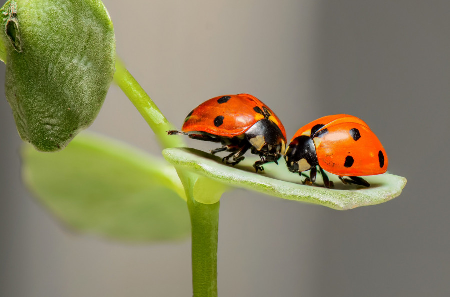 Credit:https://pixabay.com/photos/ladybugs-insects-pair-1593406/  Day 8 | Image of the day